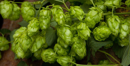 Coleman Agriculture - Hops